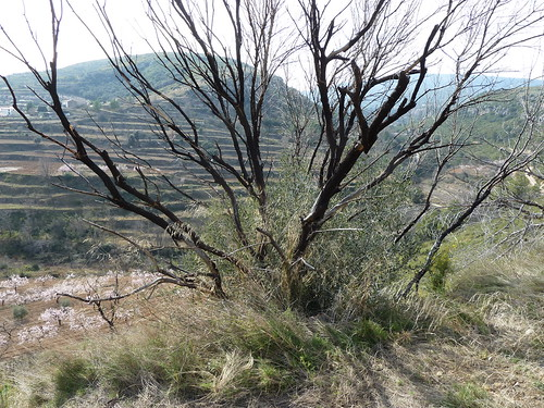 arbre cremat