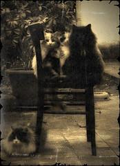 Vintage (greda :-)) Tags: cats stain sepia vintage pepper chair cream kittens bowl pippi pepe sedia crema gatti macchia gattini ciotola