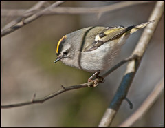 Golden-crowned Kinglet (Roy Brown Photography) Tags: mountains nature ecology georgia conservation albany physiography dougherty goldencrownedkinglet ellijay northgeorgiamountains regulussatrapa gcki gilmercounty physiographic roybrown roybrownphotography regsat