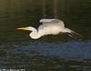 Over green water (v4vodka) Tags: white bird animal flying birding flight feather longisland egret birdwatching greategret ardeaalba czapla sunkenmeadowpark flyingegret czaplabiala