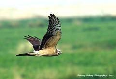 Montagu's Harrier (Circus pygargus) (suhaaz Kechery) Tags: birdwatching doha qatar montagusharrier circuspygargus weekendphotography canon60d mekaines montagusharriercircuspygargus suhaazkecheryphotography sigmaapo150500dghsmos alarkhiyafarm
