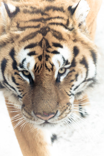 Siberian Tiger in Harbin (哈尔滨)