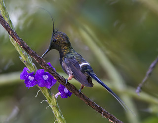 Wire-crested Thorntail, male (Popelairia popelairii)