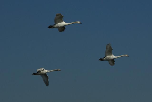 Swans in Flight 2