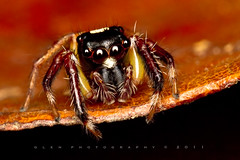 Salticidae [ Jumping Spiders ] (Glen Espinosa Photography) Tags: macro insect jumper jumpingspider macrophotography salticidae extensiontubes 100mmf28lmacro
