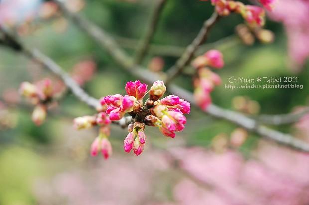 2011陽明山花季18.jpg