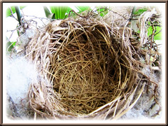 Nest of Pycnonotus goiavier (Yellow-vented Bulbul), devoid of her young!