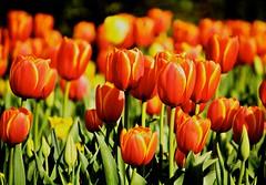 IMG_2809 (swarnendu) Tags: flowers india color nature canon photography eos dallas texas tulip blooms sen 50d swarnendu
