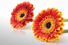 two gerberas (CL-Photography) Tags: flower gerbera christoph lehmann canoneos450d christophlehmann grooovyeasy