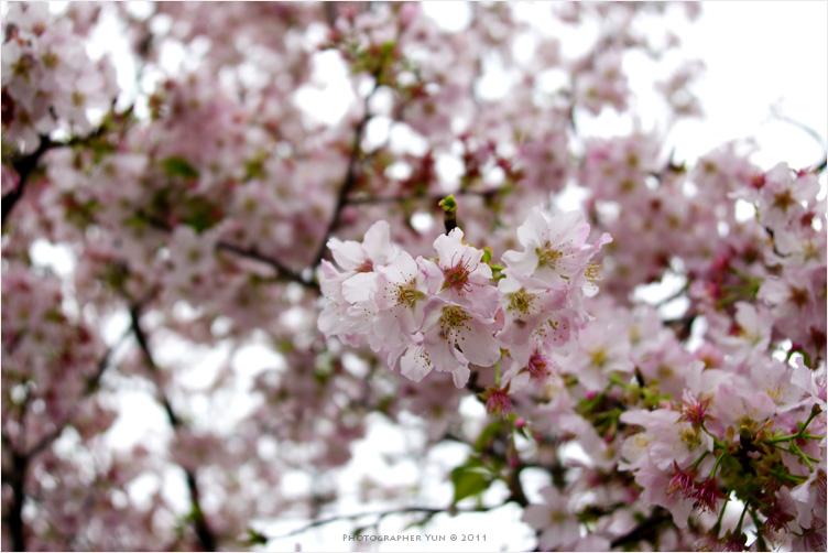 新北,淡水.︱2011新北花季.淡水天元宮盛櫻絕美