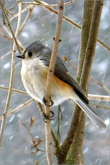 Bokeh - Titmouse in the Snow - Bird (blmiers2) Tags: white snow newyork bird nature birds canon bokeh gray powershot uccelli g6 titmouse tuftedtitmouse baeolophusbicolor passeriformes paridae blm18 blmiers2