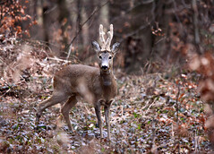 Srnjak (natalija2006) Tags: nature forest wildlife doe deer slovenia slovenija roe natalija roebuck grosuplje gozd narava srnjak srnjad npisec capreouluscapreolus