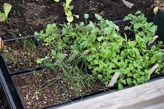 seedlings in cold frame 003