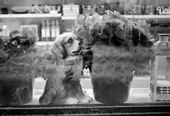 (hans.soderstrom) Tags: blackandwhite dog film 50mm stockholm iso400 summicron 111 shopwindow leicam6 11122 leicasummicron50mmf20v leicamsystem