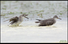 Grey-tailed Tattlers (Rey Sta. Ana) Tags: birds philippines cebu olango reystaana