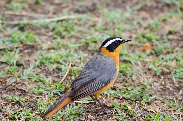 Eyebrowed Robin-Chat, Heglin's Robin-Chat, Heuglin's Robin, Heuglin's Robin Chat, Heuglin's Robin-Chat, Heuglin's White-browed Robin-Chat, White browed Robin Chat, White-browed Robin, White-browed Robin Chat, White-browed Robinchat, White-browed Robin-Chat, Cossypha heuglini, Heuglinse Janfrederik, Weißbrauenrötel, Weissbrauen-Rötel, Cosifa de Heuglin, Cossyphe à sourcils blancs, Cossyphe de Heuglin, Witbrauwlawaaimaker, Witbrauw-lawaaimaker, Kurumbiza wa Heuglin, 白眉歌䳭, 白眉歌(即鸟), 白眉歌鵖,