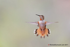 Colibri en vol / Hummingbird in flight (RichardDumoulin) Tags: en hummingbird flight vol colibri