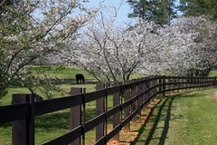 Horses and Cherry Blossoms (AJ Brustein) Tags: wood blue sky horse white black flower tree green grass st canon ga fence georgia cherry aj blossom farm trail pasture sakura hdr rivoli macon brustein 50d