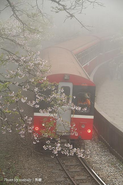 阿里山櫻花季陰天版33