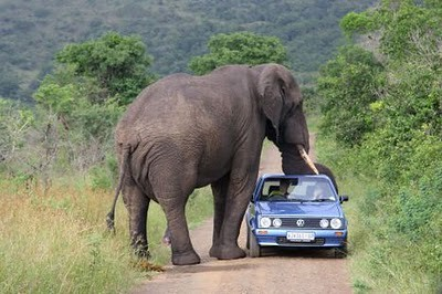 animals_attacking_cars_09