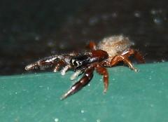 Salticidae>Holoplatys planissima? Jumping spider IMG3464 (Bill & Mark Bell) Tags: exmouth westernaustralia australia geo:town=exmouth geo:state=westernaustralia geo:country=australia geo:lon=11425453egeolat2217752sgeoalt8m 11425453e2217752salt8m taxonomy:kingdom=animalia animalia taxonomy:phylum=arthropoda arthropoda taxonomy:class=arachnida arachnida taxonomy:order=araneae araneae taxonomy:family=salticidae salticidae taxonomy:genus=holoplatys holoplatys hplanissima taxonomybinomialnameholoplatysplanissima holoplatysplanissima taxonomycommonnamejumpingspider jumpingspider spider