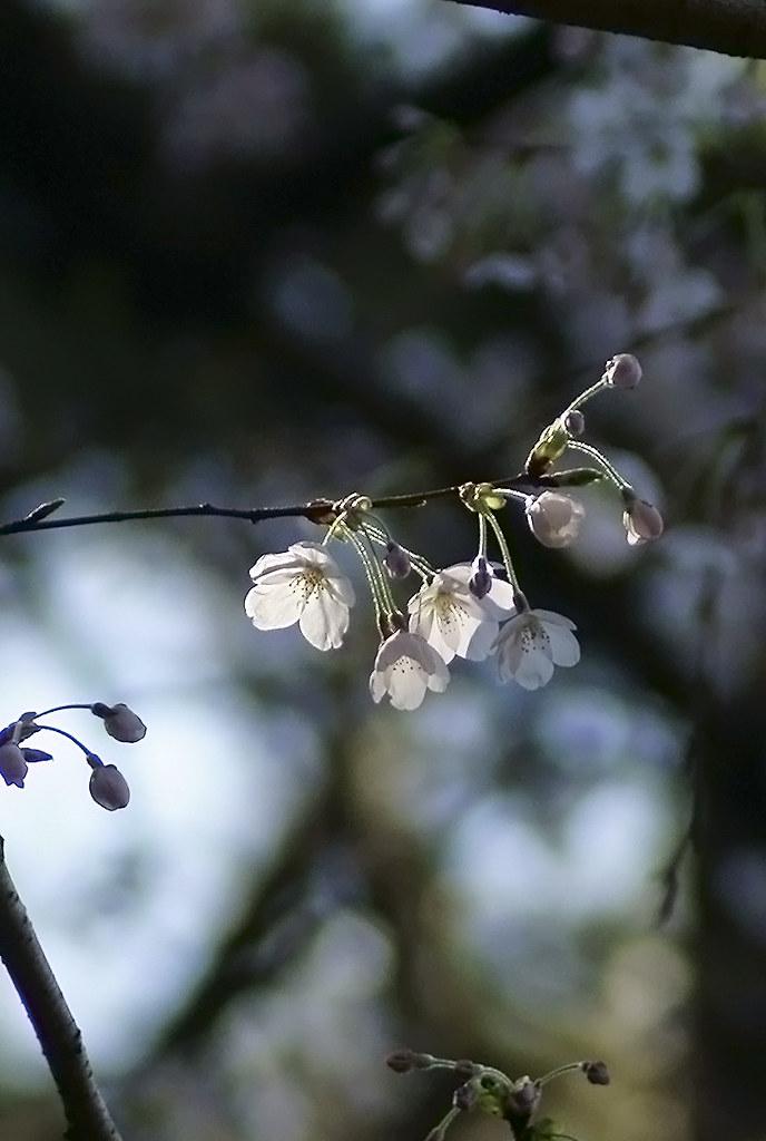 Cherry Blossom 44