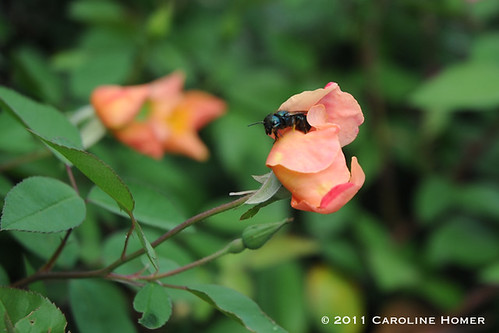 Mutabilis rose and osmia bee