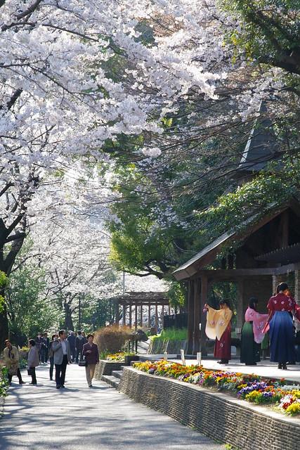 sakura riverside street