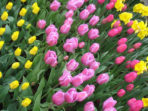 Rows of pink and yellow tulips