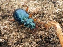 Sorry, I like blue. (Tams Nmeth) Tags: finepix fujifilm coleoptera bogr hs25exr