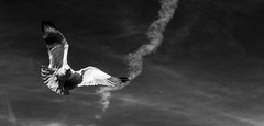 Seagulls2 (TLPhotoWorks) Tags: city urban seagulls birds wings air breath flight fowl