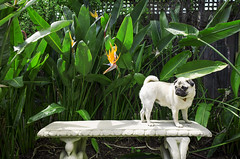 King of the Castle. (ONESHOTmelbourne) Tags: pug life cute omg bush green summer sun queen stella one shot melbourne