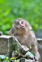 Sweet Baby (Masashi Mochida) Tags: jigokudani snowmonkey snow monkey japan nagano baby wildlife animal