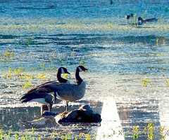 Geese preen in morning light (piranhabros) Tags: canadageese geese birds animals couple marsh pond deltaponds eugene oregon waterfowl morning water
