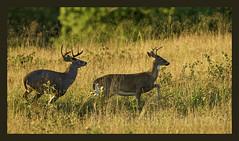 deer stalking fail (Christian Hunold) Tags: whitetaileddeer whitetailedbuck whitetail deer weisswedelhirsch mammal valleyforge pennsylvania christianhunold