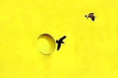Noi voliamo liberi (meghimeg) Tags: 2016 sestrilevante muro wall giallo yellow gelb uccello bird sole sun shadow ombra finestra window minimalismo volo fly ali wings amarillo
