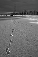 Lone Wolf (Wolfhorn) Tags: nature alaska blackwhite tracks wilderness lonewolf woodriver blackwhitephotos