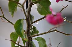 Tiny drops on bougainvillea - 2 (Pensive glance) Tags: plant flower nature rain drop bougainvillea