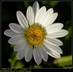 As The Sun Cast A Shadow (happiehippie50) Tags: brown white black green yellow daisy 1001nights mygearandme mygearandmepremium mygearandmebronze silveramazingdetail
