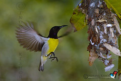 Purple rumped sunbird, Moutushi, Male (indranilkishor) Tags: male purplerumpedsunbird moutushi