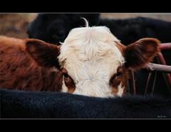 ~Peeking Bull~ (RitaK.) Tags: cow eyes nikon cattle bull curl herefordbull theunforgettablepictures