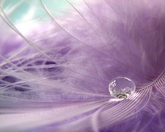 Still love bubbles and feathers too..  :-) (Mary Trebilco) Tags: pink macro reflection waterdrop soft feather refraction canonpowershots3is