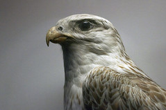 Eagle (Peter Rea 13) Tags: bird museum lensbaby manchester eagle feathers greatphotographers platinumpeaceaward