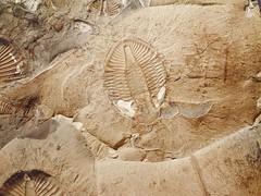 Trilobite   Ontario   Canada   1795.jpg (ShutterStone.com) Tags: ontario canada trilobite 1795jpg