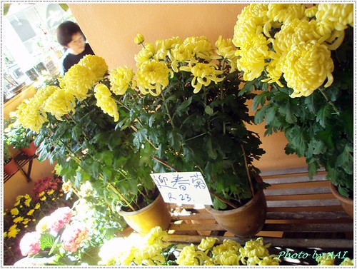 Spring Chrysanthemum for CNY