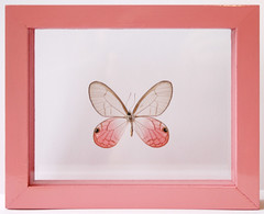 Real Pink Glasswing Butterfly Framed Cithaerias Pireta (Ben the Butterfly Guy) Tags: glass mounted clearwing butterflyart glasswingbutterfly framedbutterfly benthebutterflyguy