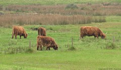 Zwin : Highlands saltings cows (2) - 9/22 (Pantchoa) Tags: sea netherlands coast highlands cows belgium belgique brugge cte pasto pasture northsea mae bruges cadzand vacas merdunord vaches zwin orilla prs hollande saltings knokkeheist pturage rservenaturelle altiplanos saltmeadows prsals vlaamgewest zomerdophetzwin presalados presalty