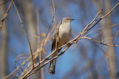 Mockingbird (WilliamMarlow) Tags: birds virginia nikon cc creativecommons northernmockingbird nikkor mockingbird fallschurch 55200 55200mm d40 nikond40