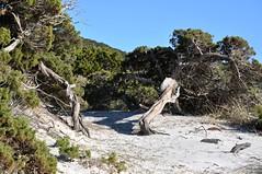 Dunes et pins de Mucchju Biancu