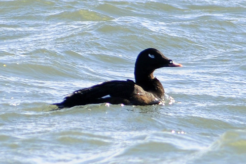 white-winged scoter cape 2011